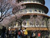 櫻花:淡水天元宮的櫻花4.jpg