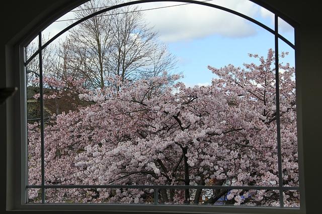 溫哥華社區的櫻花5.jpg - 櫻花