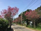 櫻花:淡水滬尾櫻花大道的櫻花
