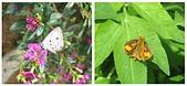 大湖公園白鷺鷥山:白鷺鷥山的蝴蝶