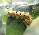 虎頭山公園賞蝶:青黃枯葉蛾終齡幼蟲