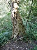 竹東五指山:07巨大的九芎樹.jpg