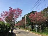 滬尾櫻花大道走春:03滬尾櫻花1B.jpg