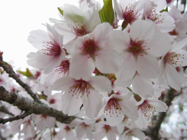 阿里山的吉野櫻.jpg - 櫻花