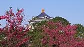 櫻花:中正紀念堂的櫻花3.jpg