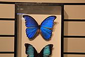 維多利亞的蝴蝶園:03摩爾佛蝶標本.JPG