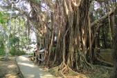 台東鯉魚山:老樹休憩區的二棵老榕樹