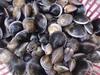 野生赤嘴蛤