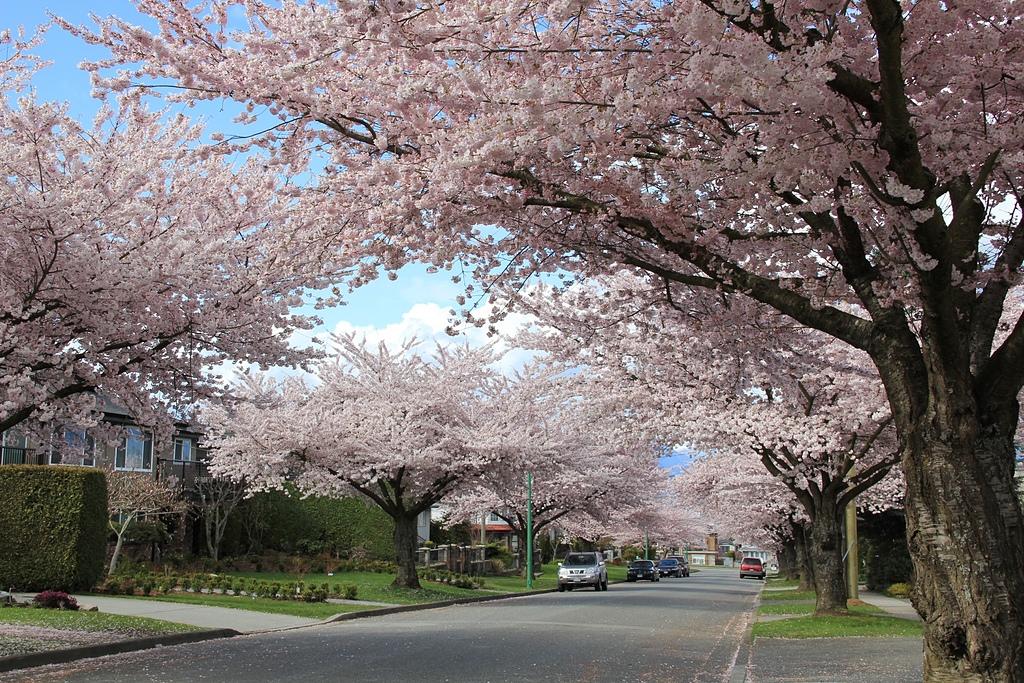 溫哥華的櫻花6.jpg - 櫻花