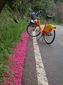 櫻花:淡水櫻花大道UBike與櫻花.jpg