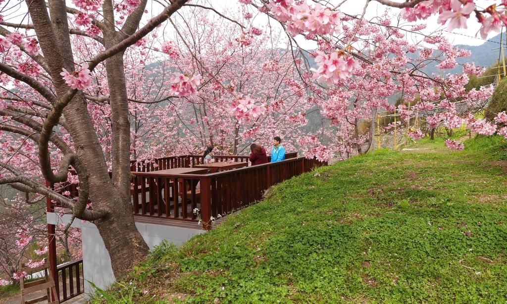泰岡櫻花林2.jpg - 司馬庫斯二日遊之一