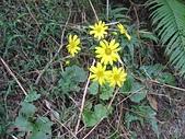 基隆山:11台灣山菊.jpg