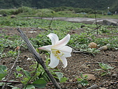 龜山島:台灣百合