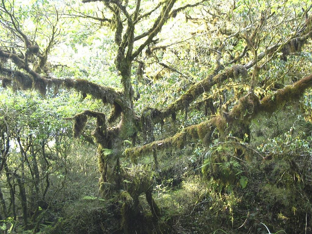 巴棲松縱走:29樹上掛滿的松蘿.jpg