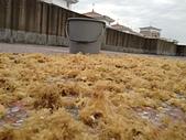 石花菜-->>石花凍:0427曬石花菜第五次1.jpg