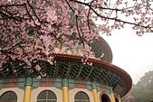 櫻花:淡水天元宮的櫻花.jpg