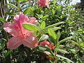 龜山島:金毛杜鵑