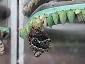 維多利亞的蝴蝶園:06剛羽化的蝴蝶.jpg