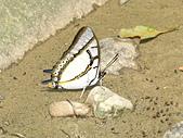 20070420福山賞蝶:雙尾蝶1.jpg
