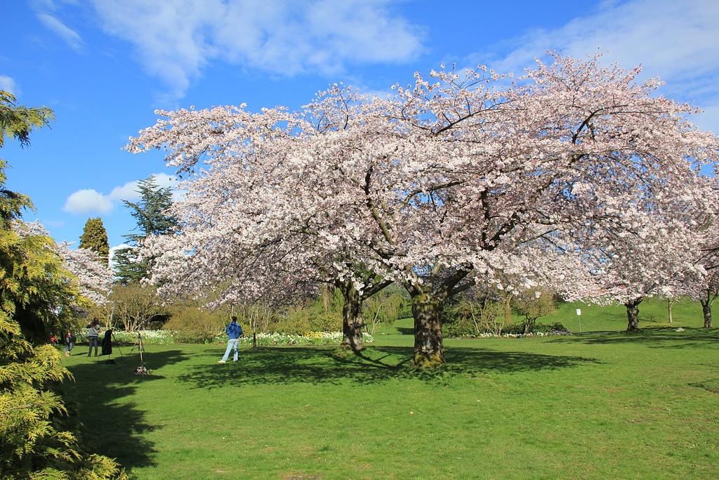 溫哥華QE Park的櫻花2.jpg - 櫻花