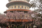 櫻花:淡水天元宮的櫻花2.jpg