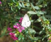 大湖公園白鷺鷥山:黑星灰蝶