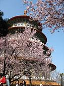 櫻花:淡水天元宮的櫻花3B.jpg