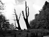 2015玉山行側記:12塔塔加夫妻樹1.jpg