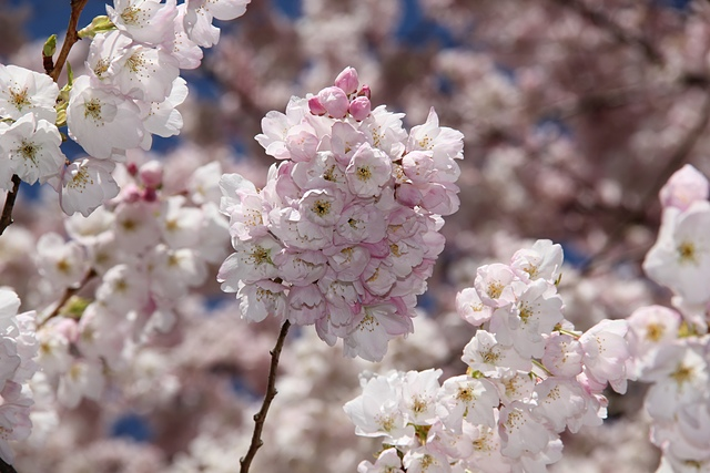 溫哥華的櫻花9.jpg - 櫻花