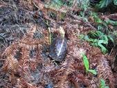 登山健行:IMG_3612食蛇龜.JPG