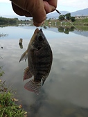 釣魚記:2015年1月5日一元復始萬象更新.jpg