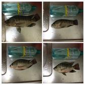 釣魚記:2014年10月13日礁溪龍龍河釣魚 017.jpg