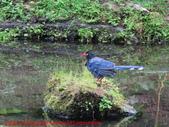 台灣藍鵲沐浴:IMG_9833.JPG