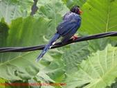 台灣藍鵲沐浴:IMG_9845.JPG