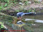 台灣藍鵲沐浴:IMG_9910.JPG