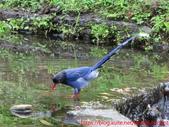 台灣藍鵲沐浴:IMG_9815.JPG