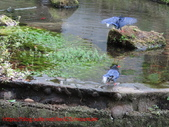 台灣藍鵲沐浴:IMG_0422.JPG