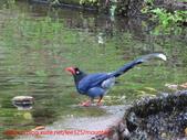 台灣藍鵲沐浴:IMG_9746.JPG