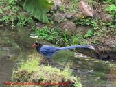 台灣藍鵲沐浴:IMG_9918.JPG
