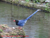 台灣藍鵲沐浴:IMG_0412.JPG