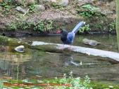 台灣藍鵲沐浴:IMG_0002.JPG