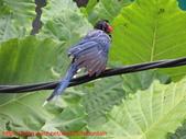 台灣藍鵲沐浴:IMG_9841.JPG