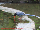 台灣藍鵲沐浴:IMG_9903.JPG