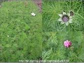 拈花惹草:含苞待放的大波斯菊.jpg
