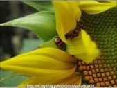 拈花惹草:瓢蟲與向日葵