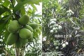 水果酒醋釀造屋:P1-土芒果