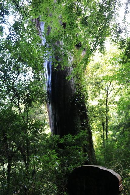 103年07月12日第廿七次露營-達觀山自然保護區巨木群:IMG_5065.JPG