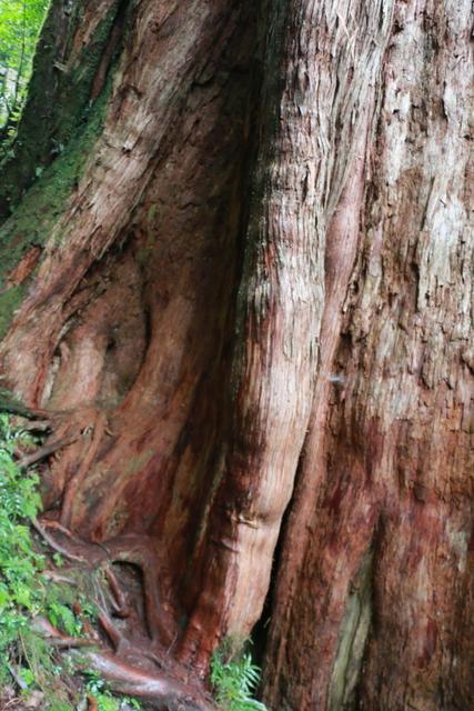 103年07月12日第廿七次露營-達觀山自然保護區巨木群:IMG_5194.JPG