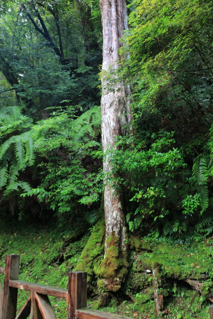 103年07月12日第廿七次露營-達觀山自然保護區巨木群:IMG_5072.JPG