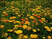 合歡高山之美:金盞菊